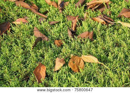 Fallen Leaves On A Juniper Tree