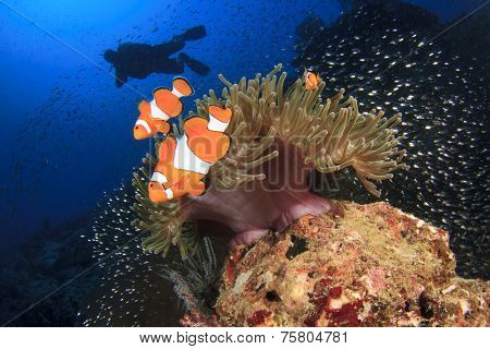 Clownfish Anemonefish and scuba diver