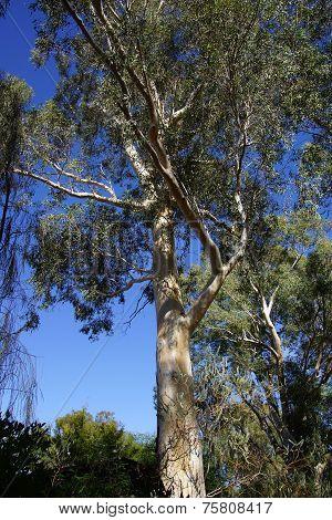 Peeling Bark On Eucalyptus Tree