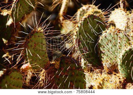 Sabra Prickly Pear Cactus