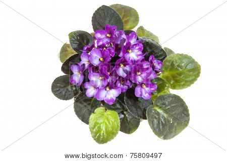 African Violet With Mass Of Mauve Flowers
