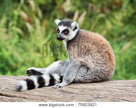 Ring-tailed Lemur Sitting On The Tree Stump