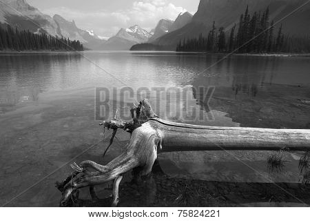 Trunk In Spirit Island In Maligne Lake. Jasper. Canada