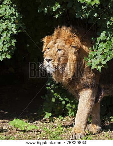 Side portrait of a young Asian lion in sunny day.