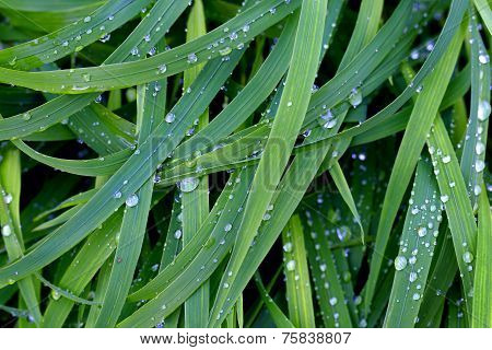 Herbage With Raindrops.