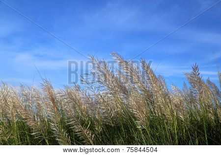 Kans Grass Locally Known As The Kash Flower In Bangladesh