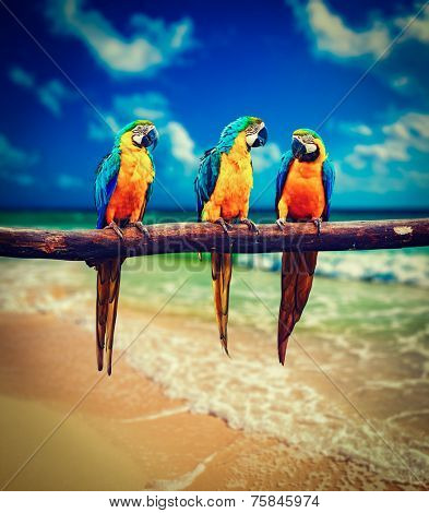 Vintage retro effect filtered hipster style image of  tropical vacation concept - three parrots (Blue-and-Yellow Macaw (Ara ararauna) aka the Blue-and-Gold Macaw ) on tropical beautiful beach and  sea