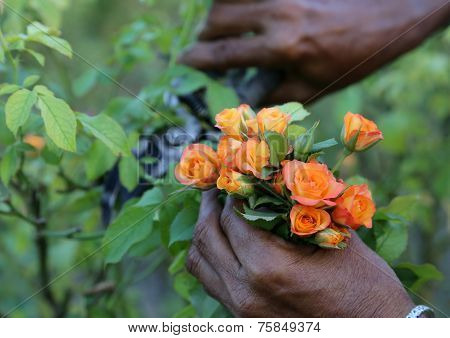 Cutting Of Pink Roses With A Secateur