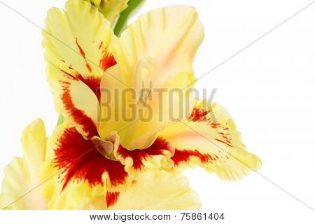 Beautiful colorful red and yellow gladiolus isolated \ horizontal