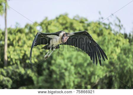 Marabou Stork (leptopilos Crumeniferus)