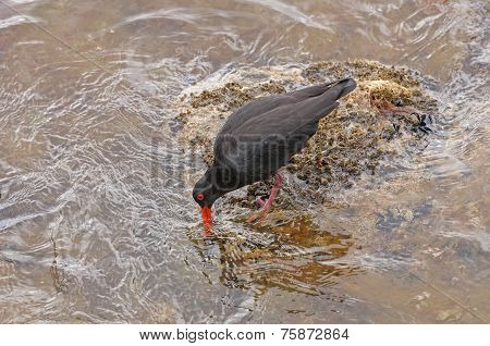 Variable Oystercatcher Searching For Food On A Rocky Coast