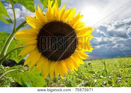 Sunflower At Thailand