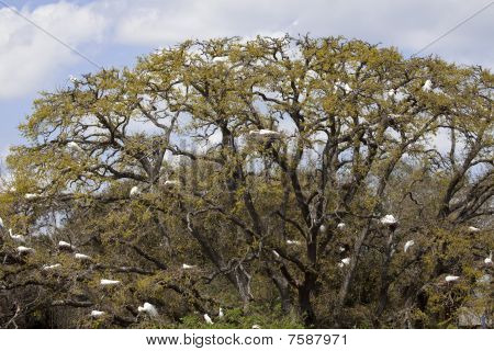 Dozens Of Great Egrets Nesting In Tree, St. Augustine, Florida