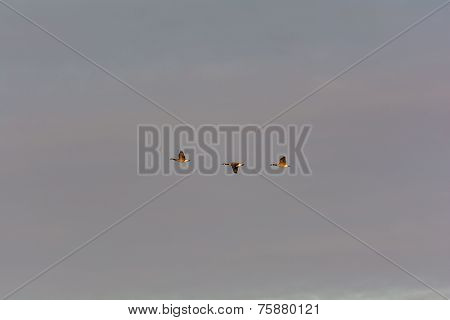 Three Canada Geese In Flight