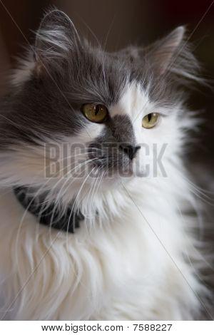 Turkish Angora Mixed With Persian Breed Cat