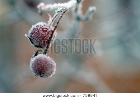 frostberries