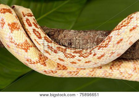 Detail of the beautiful skin of a yellow albino female bullsnake