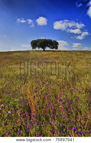 Lonely Holm Oak