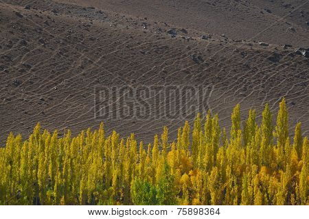 Dirt Landscape background and Poplar trees foreground.