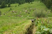 foto of milkman  - cows in the high mountain of Italy - JPG