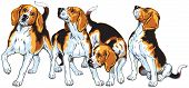 picture of foxhound  - four beagle hounds - JPG
