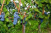 picture of merlot  - Ripe of Merlot grapes on the vine ready for harvest - JPG