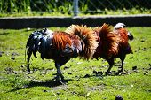 pic of fighting-rooster  - Two fighting roosters on the poultry farm - JPG