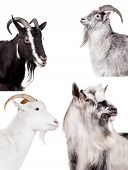 image of saanen  - Group of goats isolated on the white background - JPG