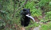 stock photo of wolverine  - Black bear eating salmon at Wolverine Creek Alaska
