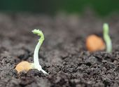 stock photo of chickpea  - close up of Chickpea seedling in fertile soil - JPG