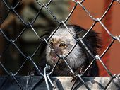 image of marmosets  - A visit to the zoo in town and a little marmoset monkey waiting for food - JPG