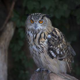 picture of screech-owl  - A screech owl great night hunter - JPG