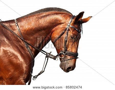 Portrait Of Bay Horse On A White Background