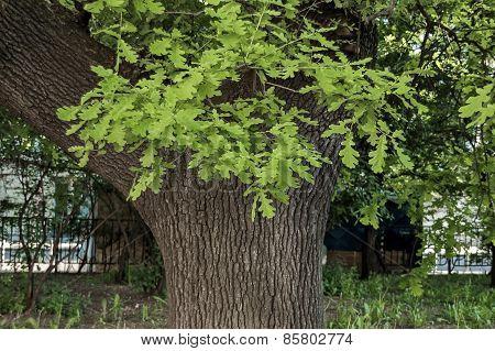 Leafy oak tree