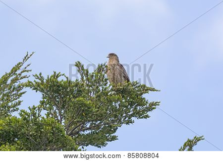 Chimango Caracara In A Tree In Patagonia