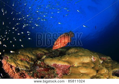 Coral Grouper fish on underwater ocean reef