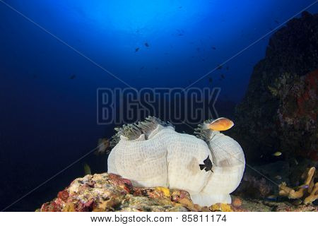 Skunk Clownfish and anemones on coral reef