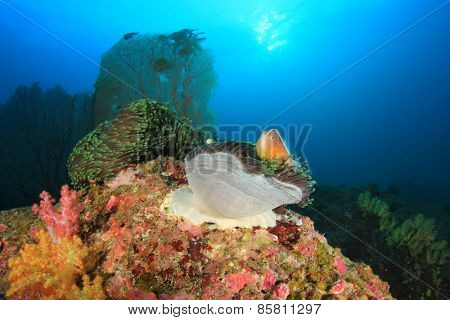 Skunk Clownfish on underwater coral reef