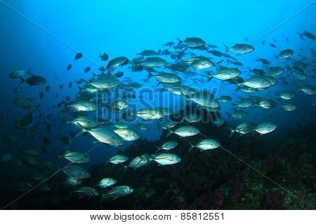 Bigeye Jack fish shoal