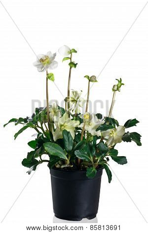 hellebore in pot on a white background