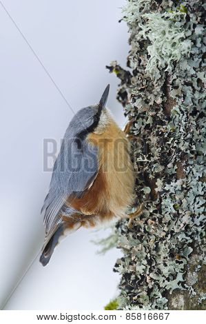 Wood Nuthatch on a trunk,  in Vosges mountains, France