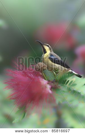 purple sunbird on a powder puff, Bardia, Nepal