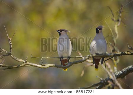 couple of bohemian waxings perched on a branch, Vosges, france