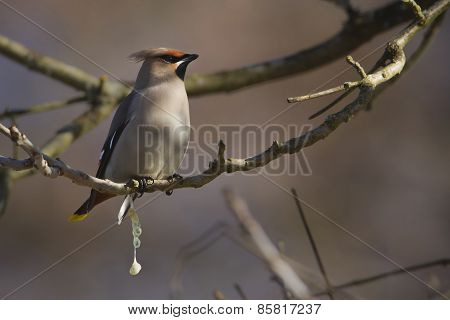 bohemian waxwing dropping in a tree, Vosges, france
