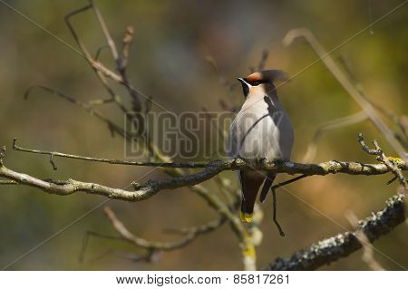 bohemian waxwings perched on a branch, Vosges, France