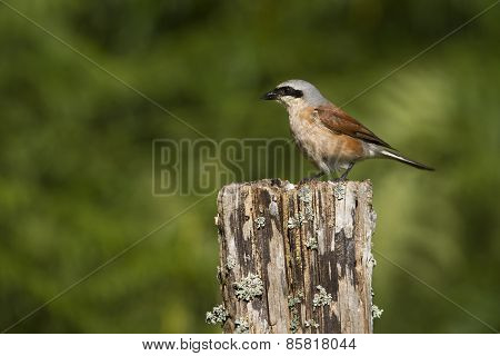 red backed shrike perched on a trunk