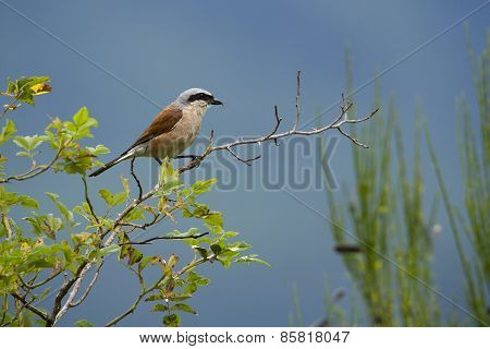 red backed shrike perched on a branch