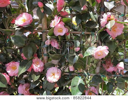 Camellias Flowers blooming and just beginning to show color