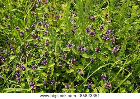 Prunella Vulgaris Flowers In The Spring Meadow.