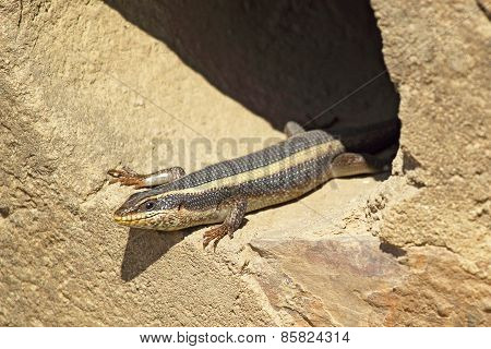 African Lizard Known As Striped Skink, Trachylepsis Striata